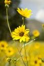 Wilde Sonnenblumen Lizenzfreie Stockfotografie