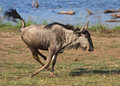 Wildebeest Stock Images