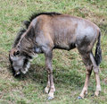 Wildebeest 2 Royalty Free Stock Photos