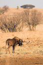Wildebeest #2 Stock Photo