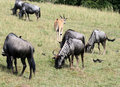 Wildebeest 3 Royalty Free Stock Photos