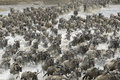 Wildebeest big herd of crossing the mara river Stock Image