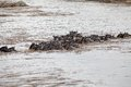 Wildebeest connochaetes taurinus great migration the the animals are crossing the mara river in the serengeti national park Royalty Free Stock Photos