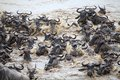 Wildebeest connochaetes taurinus great migration the the animals are crossing the mara river in the serengeti national park Stock Images