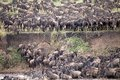 Wildebeest connochaetes taurinus great migration the the animals are jumping into the river and are crossing the mara river in the Royalty Free Stock Photography
