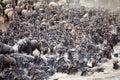 Wildebeest (Connochaetes taurinus) Great Migration Royalty Free Stock Photo