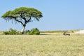 Wildebeest in etosha national park on the plains namibia Stock Image