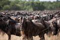 Wildebeest gathering during the migration at the masai mara kenya Royalty Free Stock Photography