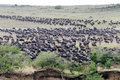 Wildebeest gathering to Cross Royalty Free Stock Image