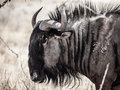 Wildebeest gnu profile detailed view of from etosha national park namibia Royalty Free Stock Image
