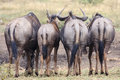 Wildebeest or gnu with their rumps facing the camera Royalty Free Stock Photos