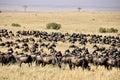Wildebeest in Masa-mara safari in Kenya