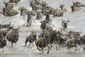 Wildebeest migration herd crossing the mara river Royalty Free Stock Image