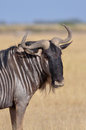 Wildebeest portrait of a in the plains of africa Royalty Free Stock Photos