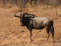 Wildebeest portrait standing on the african grass plains Stock Images