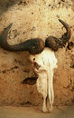 Wildebeest skull Royalty Free Stock Image