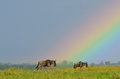 Wildebeest under rainbow Stock Image