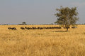 Wildebeests migrate thousands each year following fresh grasses water Royalty Free Stock Image