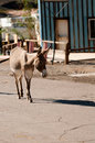 Wilder Burro in Oatman, Arizona Stockbilder