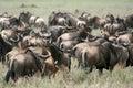 Wilderbeast - Serengeti Safari, Tanzania, Africa Royalty Free Stock Photo