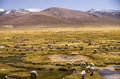 Wilderness of andes mountain range lama flock in the peru near arequipa Stock Photo
