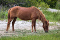 Wildes pony assateague Stockfoto