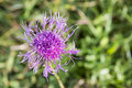 Wildflower in the alps seldom Stock Photos