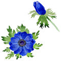 Wildflower Anemone flower in a watercolor style isolated.