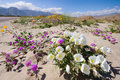 Wildflower in Anza Borrego Stock Images
