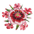 Wildflower carnation flower in a watercolor style isolated.
