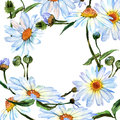 Wildflower daisy flower in frame a watercolor style. Royalty Free Stock Photo