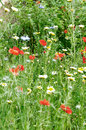 Wildflower field rich meadow on uncultivated land shallow depth of Stock Image