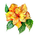 Wildflower hibiscus flower in a watercolor style isolated.