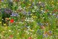 Wildflower meadow in full bloom Stock Photos