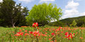 Wildflower meadow texas with a mass of indian paintbrush in full bloom Stock Photo