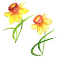Wildflower Narcissus flower in a watercolor style isolated.