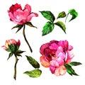 Wildflower Peony Flower In A W...