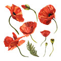 Wildflower poppy flower in a vector style isolated. Royalty Free Stock Photo