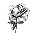 Wildflower rose flower in a vector style isolated.