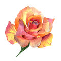 Wildflower rose flower in a watercolor style isolated. Royalty Free Stock Photo