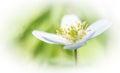 Wildflower wood anemone nemorosa white spring flower or Royalty Free Stock Photography