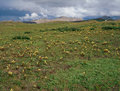 Wildflowers and alpine tundra along the Continental Divide Trail, Weminuche Wilderness, Colorado Royalty Free Stock Photo