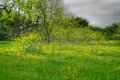 Wildflowers amd mesquite trees a field of texas and meaquite Royalty Free Stock Images