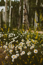 Wildflowers and aspen trees in historic mountain town of colorado Royalty Free Stock Photo