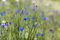 Wildflowers blue cornflower wild astors or bachelors button flowers with meadow of flowers blurred in background centaurea cyanus Stock Photo