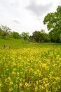 Wildflowers, Butter-and-eggs e Dicks azuis, em a Fotografia de Stock