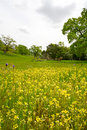 Wildflowers, Butter-and-eggs et Dicks bleus, dans a Photographie stock