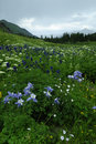 Wildflowers in Colorado Rocky Mountains Stock Photo