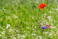 Wildflowers colourful within a grass field Royalty Free Stock Image