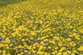 Wildflowers a field of yellow with scattered blue and red Royalty Free Stock Image
